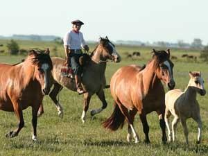 pferde-treibe-gaucho-wiese