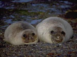 Peninsula Valdes: Seehunde
