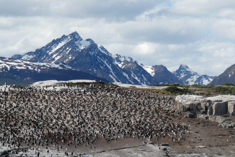 argentinien-ushuaia-pinguine