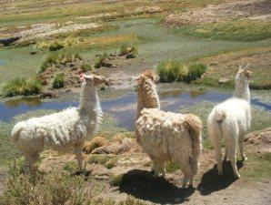 Lamas Altiplano Chile Atacama Wüste Tour