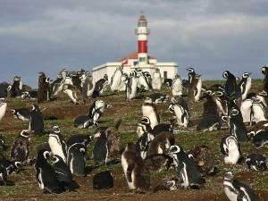 Pinguine Isla Magdalena Punta Arenas Magellanstraße