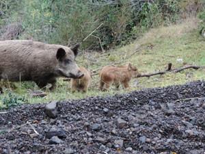 Wildschweine an der Carretera Austral