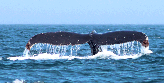 Wale vor der Halbinsel Valdés