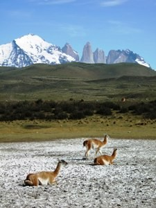 Guanacaos im Torres del Paine Nationalpark