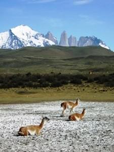 guanacos-im-torres-del-paine