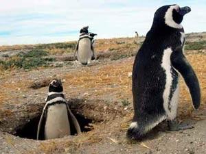 Chile - Pinguine in Punta Arenas auf Isla Mgdalena