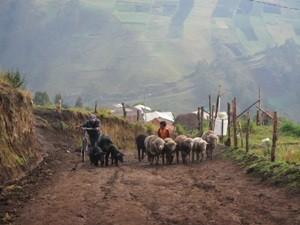 Schafe werden eine Strasse hoch getrieben