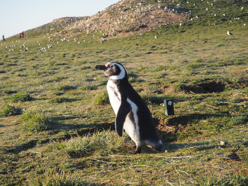 Chile-highlights-pinguin