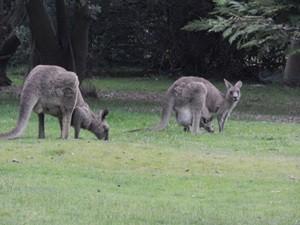 Kängurus in den Grampians