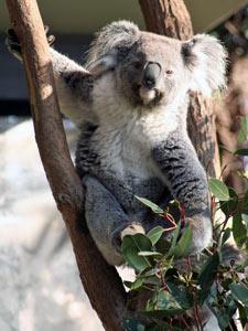 Koala auf einem Baum im Taronga Zoo in Sydney