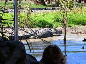 Ein Krokodil liegt am Ufer