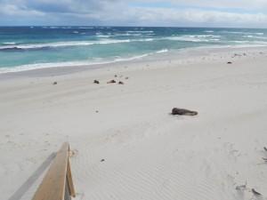 beach-kangarooisland