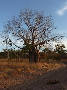 Ein Boab- Baum