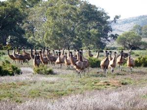 Eine Gruppe Emus in den