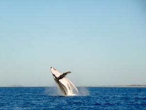 Saison der Buckelwale - Juli bis September
