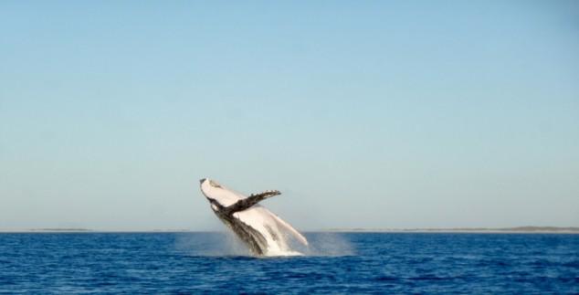 Flosse eines Humpback-Walfisches