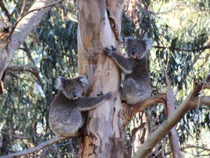 Koalas auf Kangaroo Island