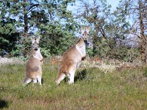 Zwei Kängurus gucken rüber