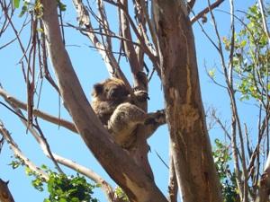 Ein Koala in die Baumwipfel von Phillip Island