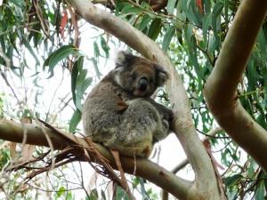 Koala in Australien - Australien mit Kindern
