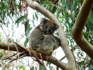 Koala Australien Familienreise für Kinder