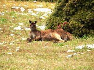 Entspanntes Kangaroo