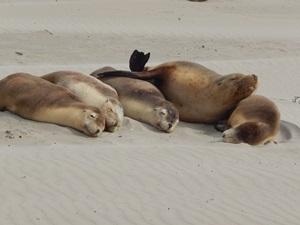 Seehunde auf Kangaroo Island