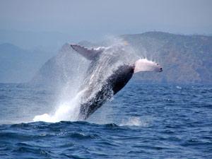 Ein Wal hebt sich aus dem Wasser