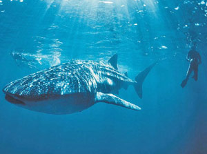Tauchen mit Walhaien Westküste Australien