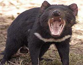 Tasmanien Reise Tasmanischer Teufel Tierwelt