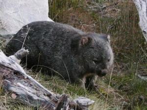 Wombats auf Tasmanien