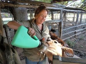 Fartmstay in Australien - Kälbchen füttern