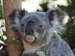Australien Rundreisen 2-3 Wochen Koala