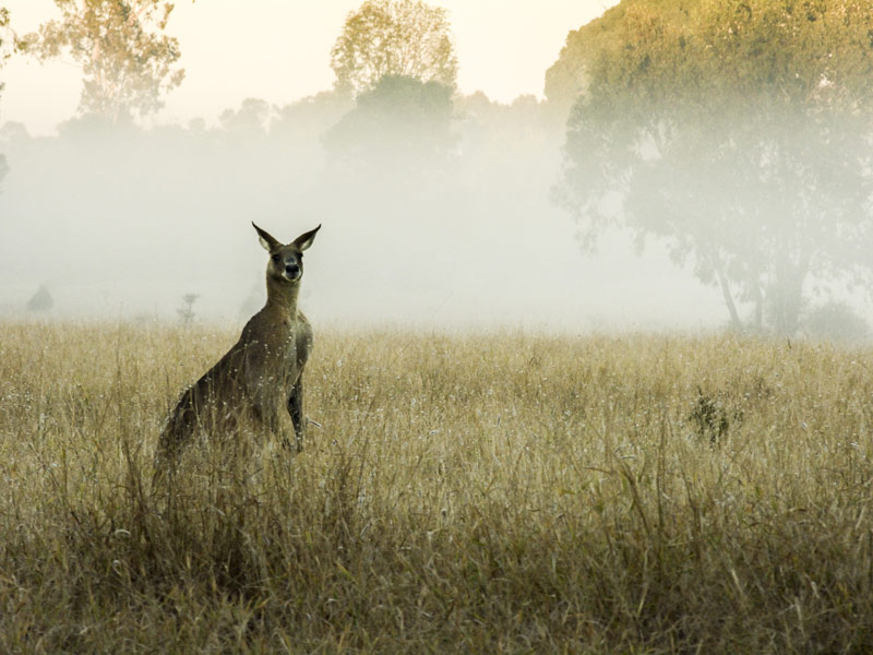 Kängurus in South Australia