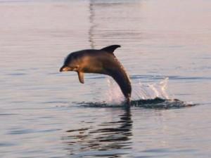 Delfin Springend Westaustralien