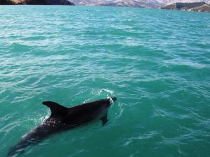 akaroa-delfin-landschaft - Rundreise Australien Neuseeland