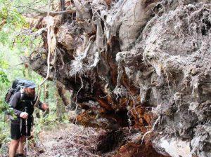 riesige Baumwurzel in Tasmanien