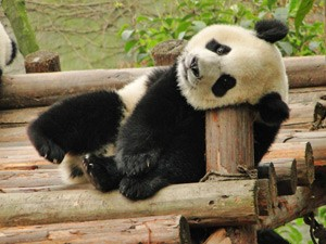 china tibet beleving panda
