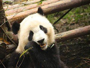 panda che