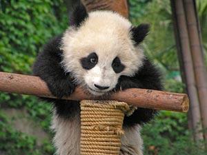 china tibet panda chengdu