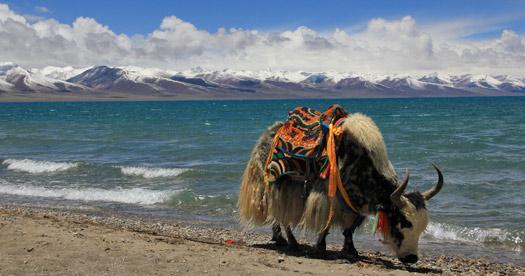 Rondreis Tibet - yak