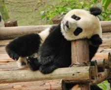 Op zoek naar de Panda in Chengdu