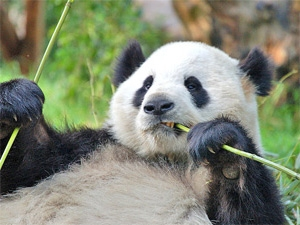 chengdu panda china