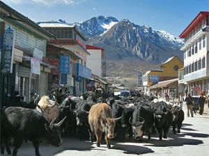 yaherders runderen langmusi china