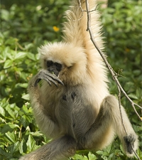 gibbon maleisie