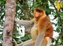 Apenstreken in tropisch regenwoud