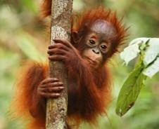 Orang Oetans en cruisen met de jungleboot