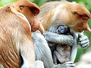 Neusapen Borneo Bako National Park