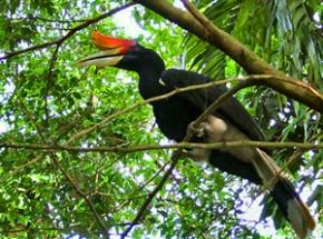 neushoornvogel tamannegara maleisie