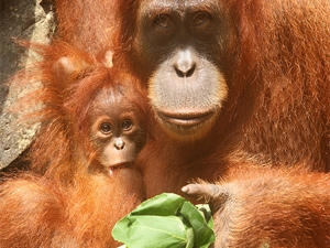 orangoetan sepilok borneo maleisie